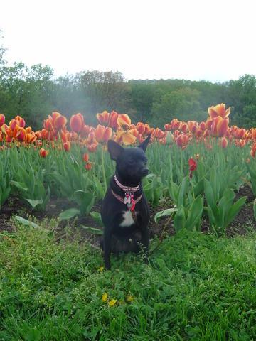 tulip lola